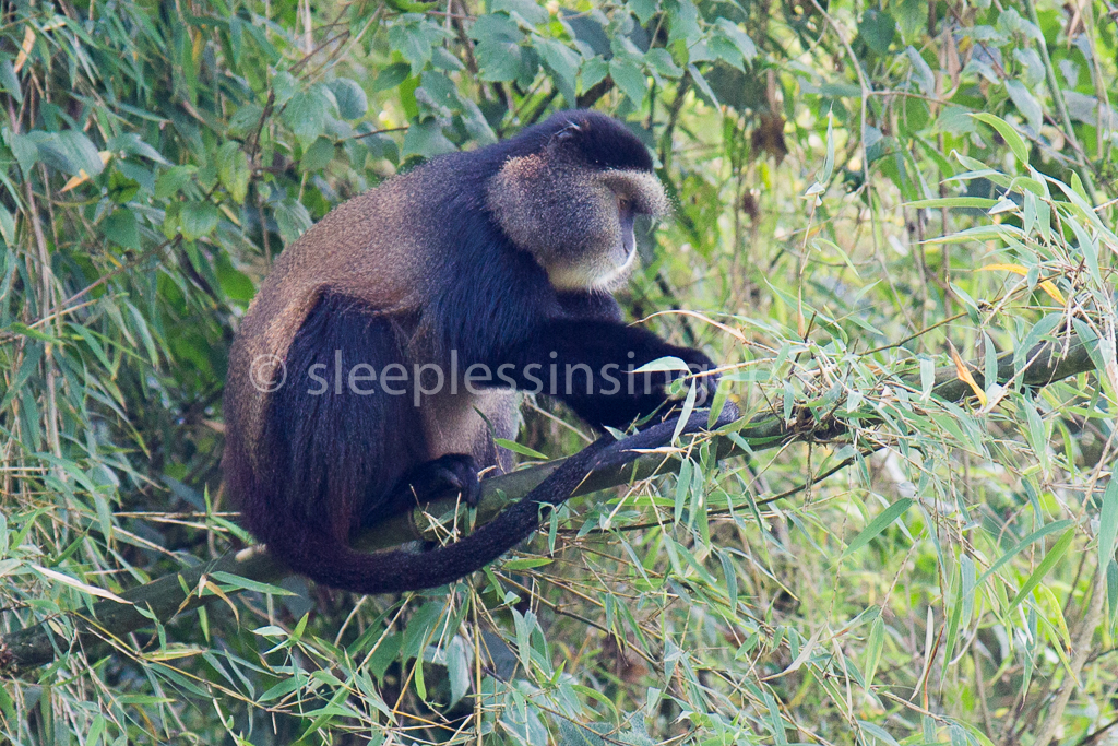 Guest Post: A Rwandan Adventure – Golden Monkey Trek and Notes from Rwanda (Part 3 of 3)