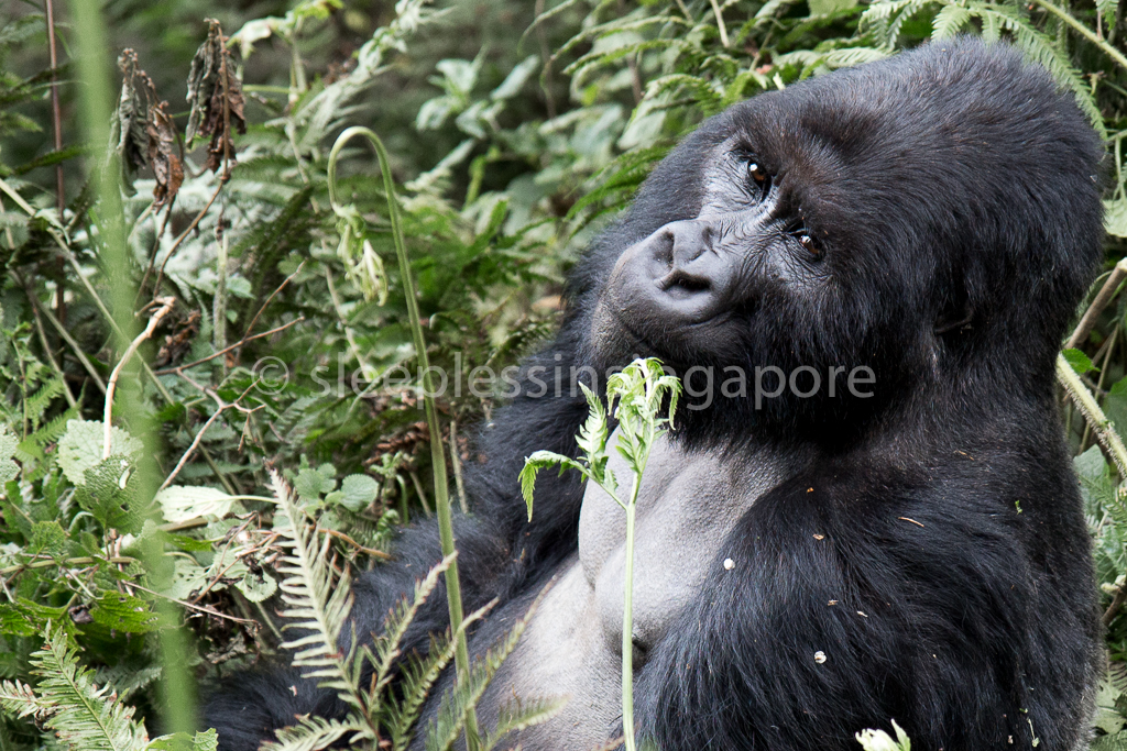 Guest Post: A Rwandan Adventure – Mountain Gorilla Trek (Part 2 of 3)
